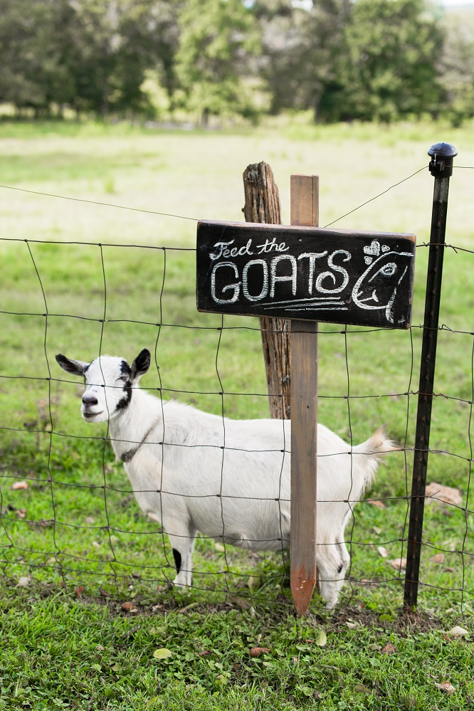 goat at fence